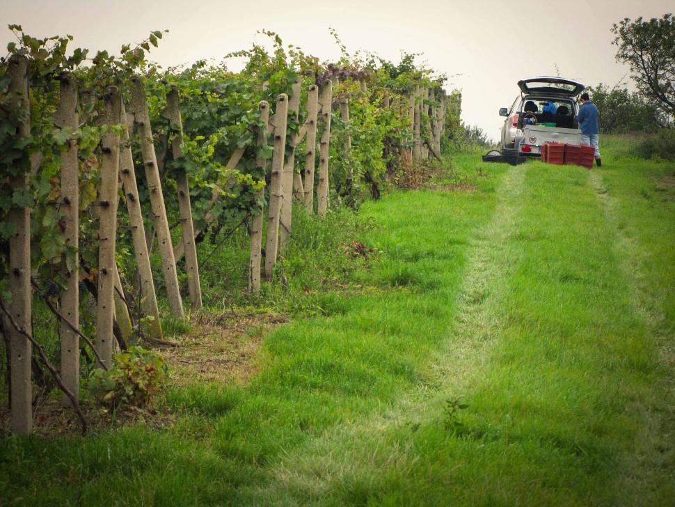 stary vinohrad ruzeny