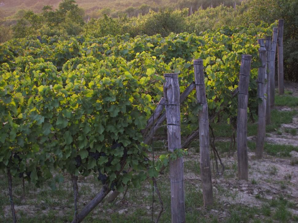 vinice ruzeny sedlacek