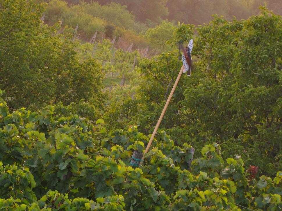 vinohrad ruzeny postolka