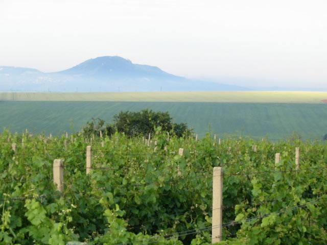 Vinice Růženy Pálava